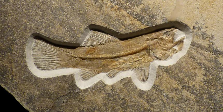 Amiopsis lepidota