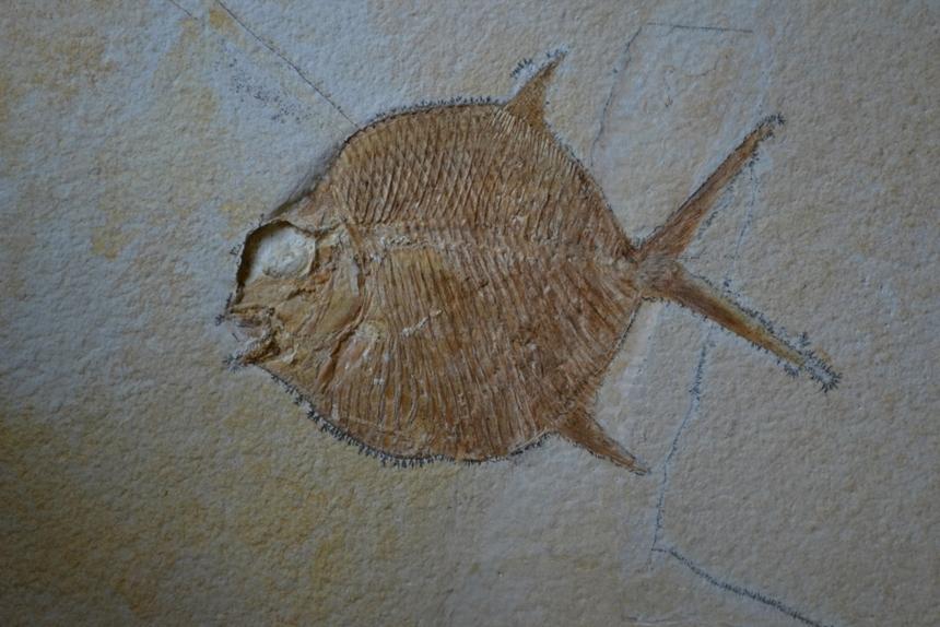 Gyrodus hexagonus Blainville, 1818
