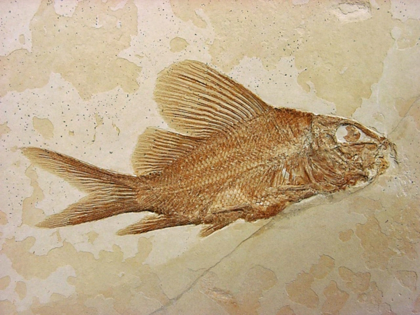 Propterus elongatus Wagner, 1863