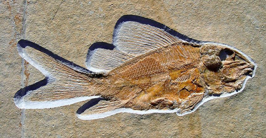 Propterus elongatus, WAGNER 1863
