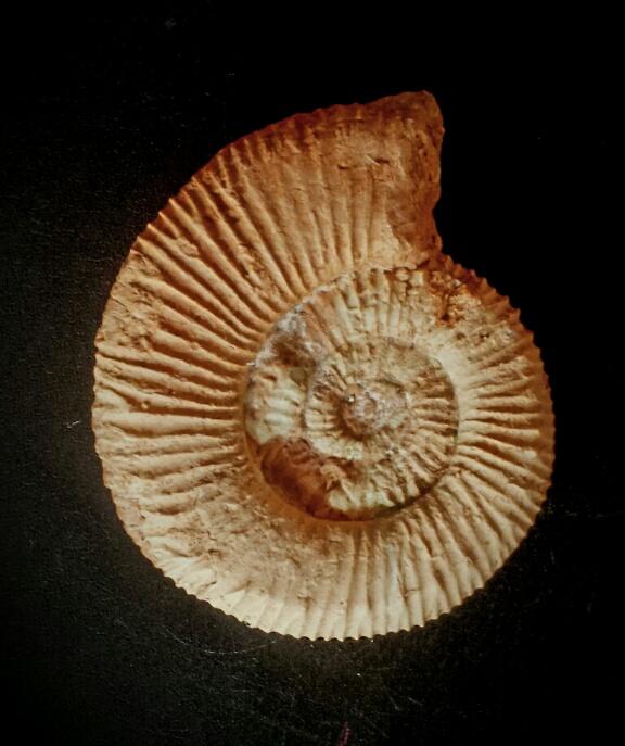 Aulacosphinctes sulcatus