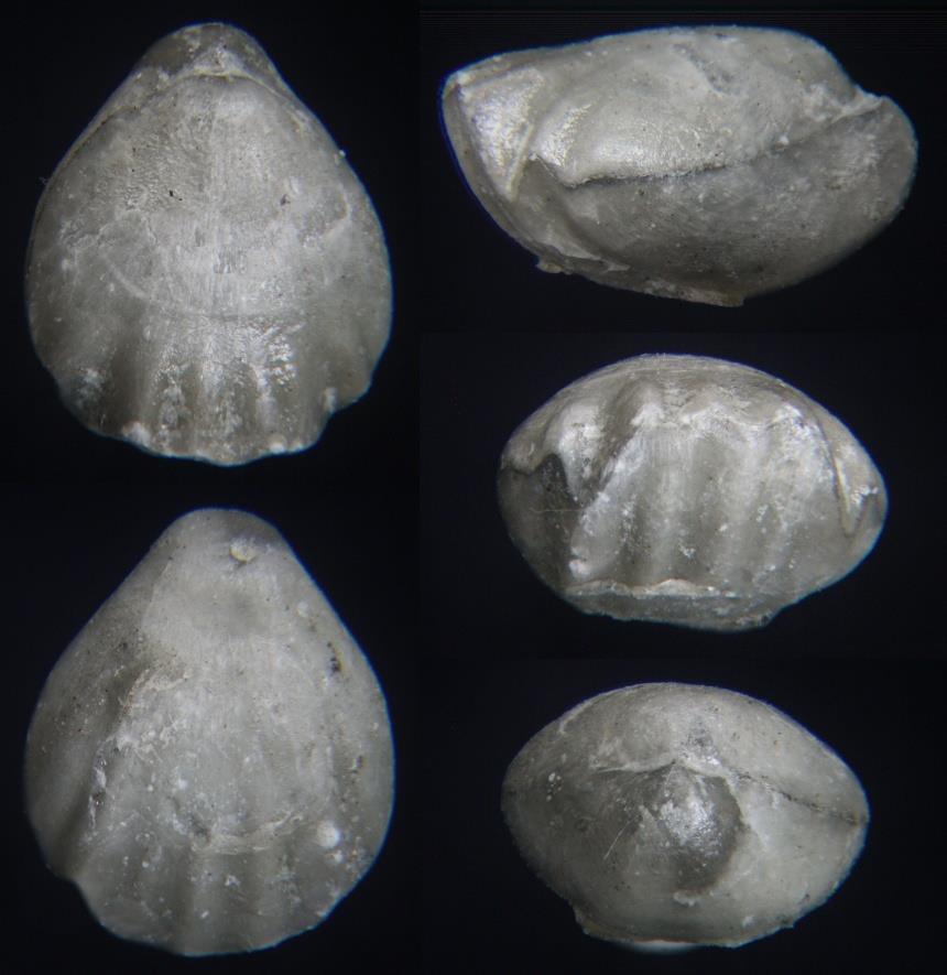 Brachiopode Monticlarella triloboides (QUENSTEDT 1852)