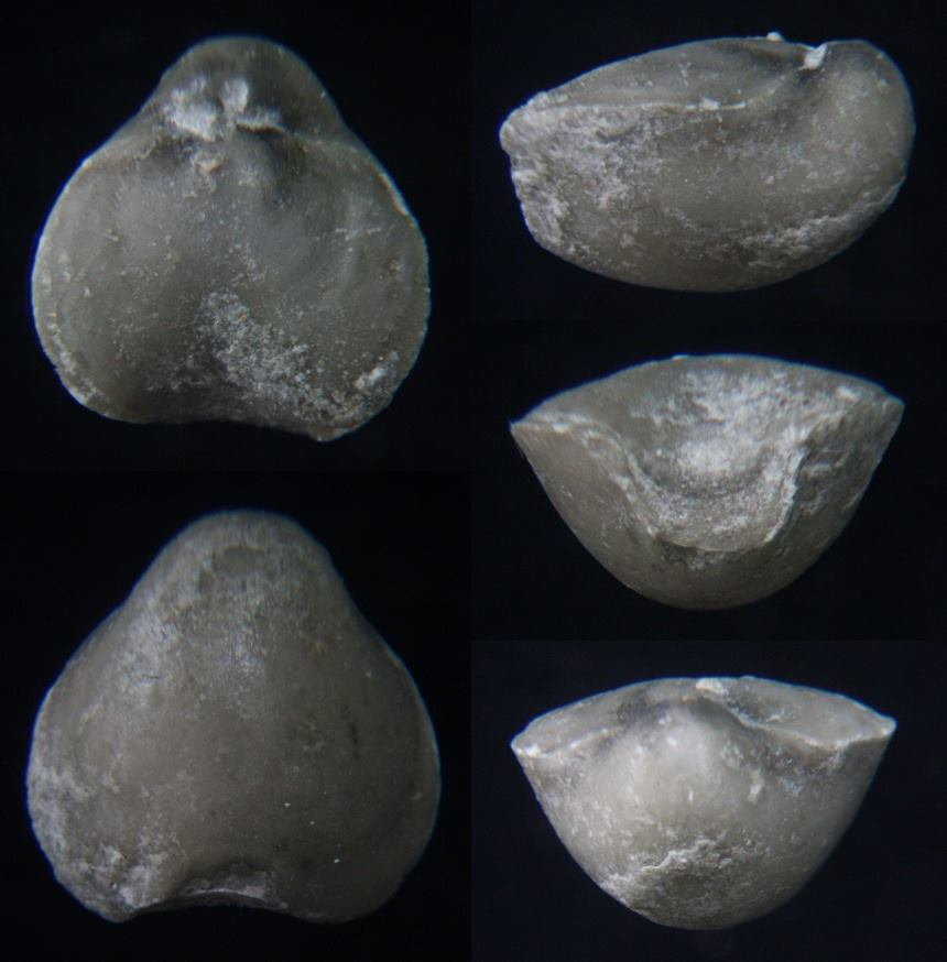 Brachiopode Nucleata nucleata (SCHLOTHEIM 1820)