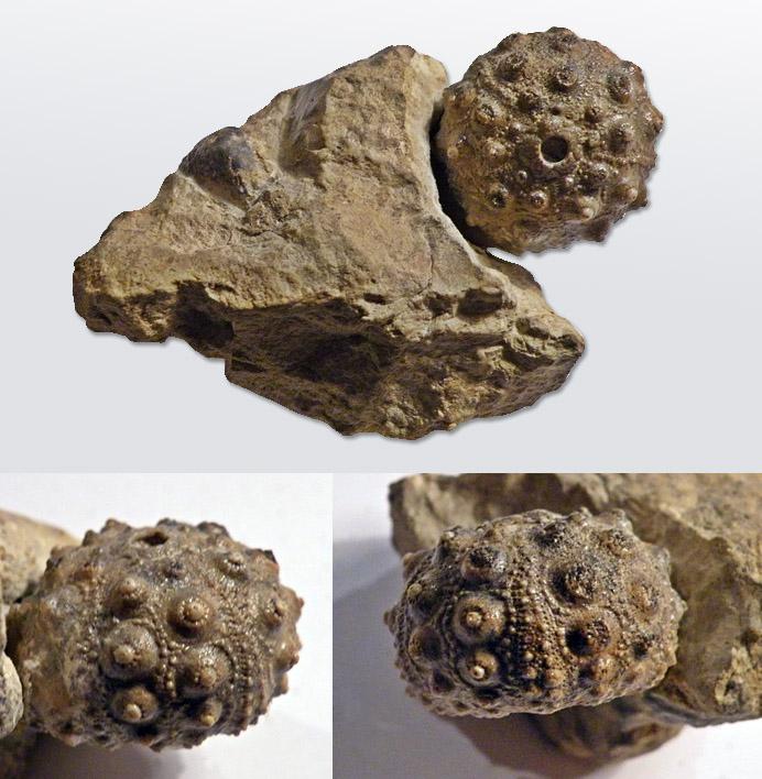 Hemicidaris crenularis