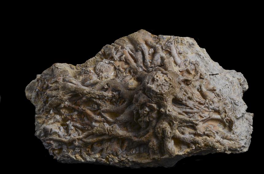Lilocrinus munsterianus (d'Orbigny)