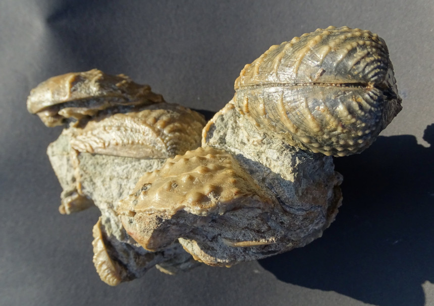 Myophorella clavellata