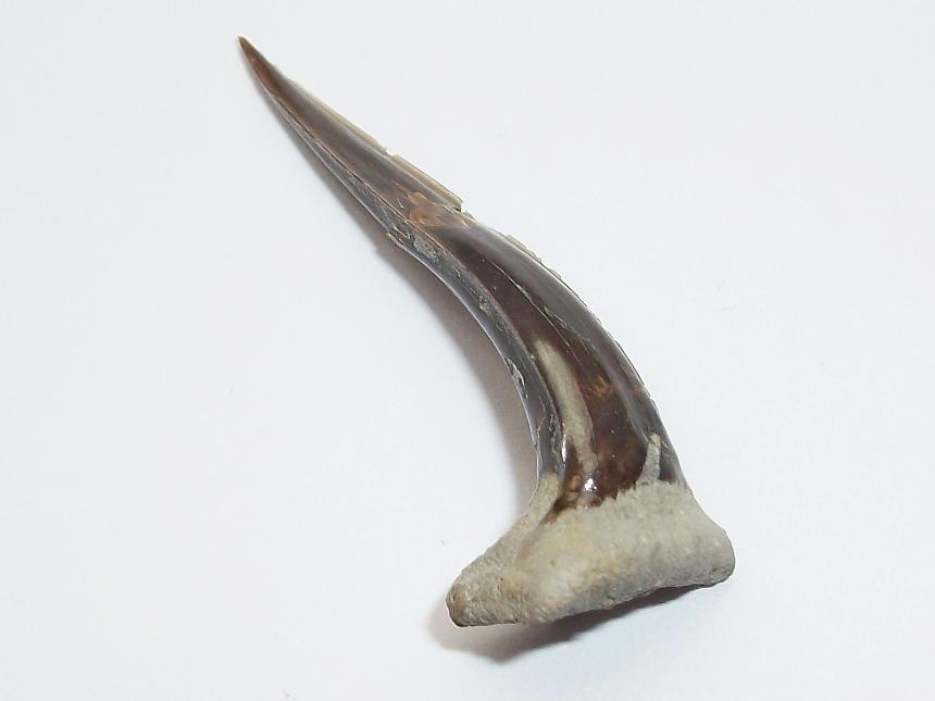 ?Sphenodus longidens (AGASSIZ 1843)