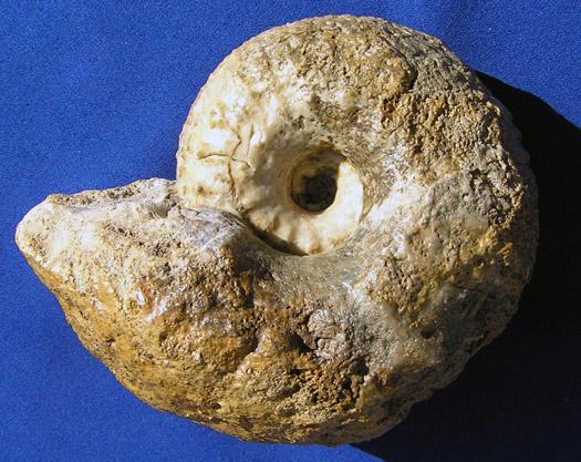Liparoceras aff. cheltiense