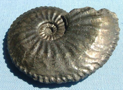 Amaltheus margaritatus
