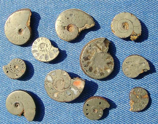 11 aufgeschliffene Toarc Ammoniten