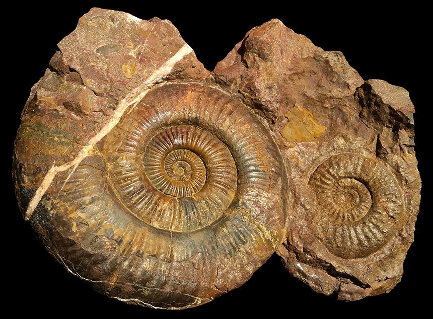 Storthoceras sp. und cf. Megastomoceras sp.