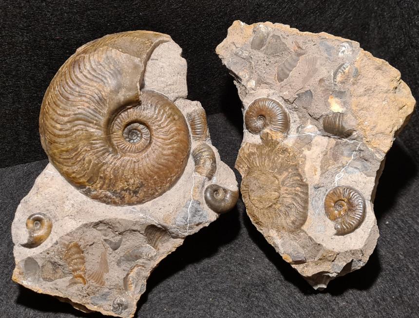 Cleviceras exaratum, Lytoceras ceratophagum und Hildaites