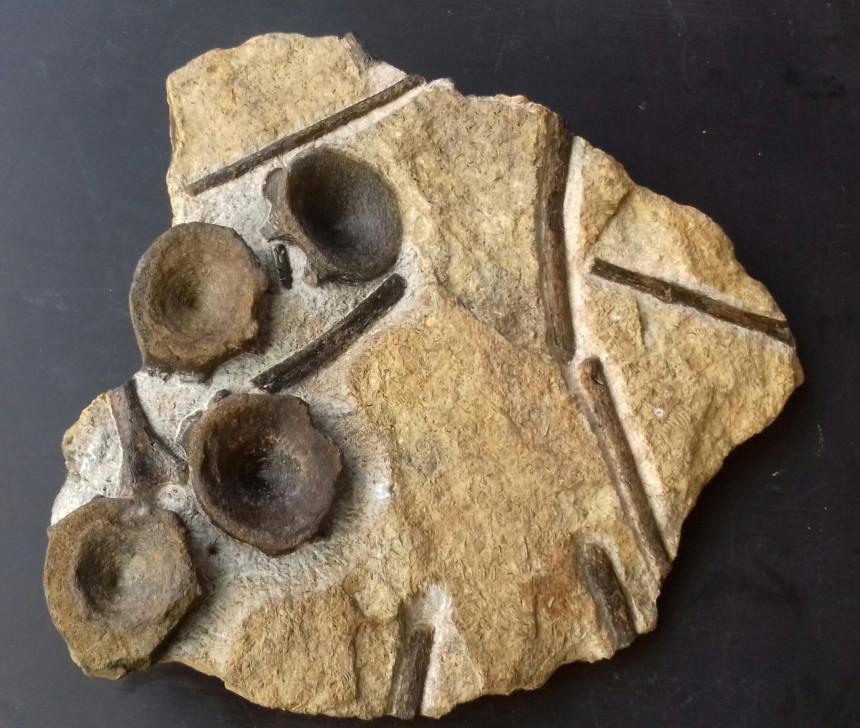 Ichthyosaurus - Wirbel und Rippen