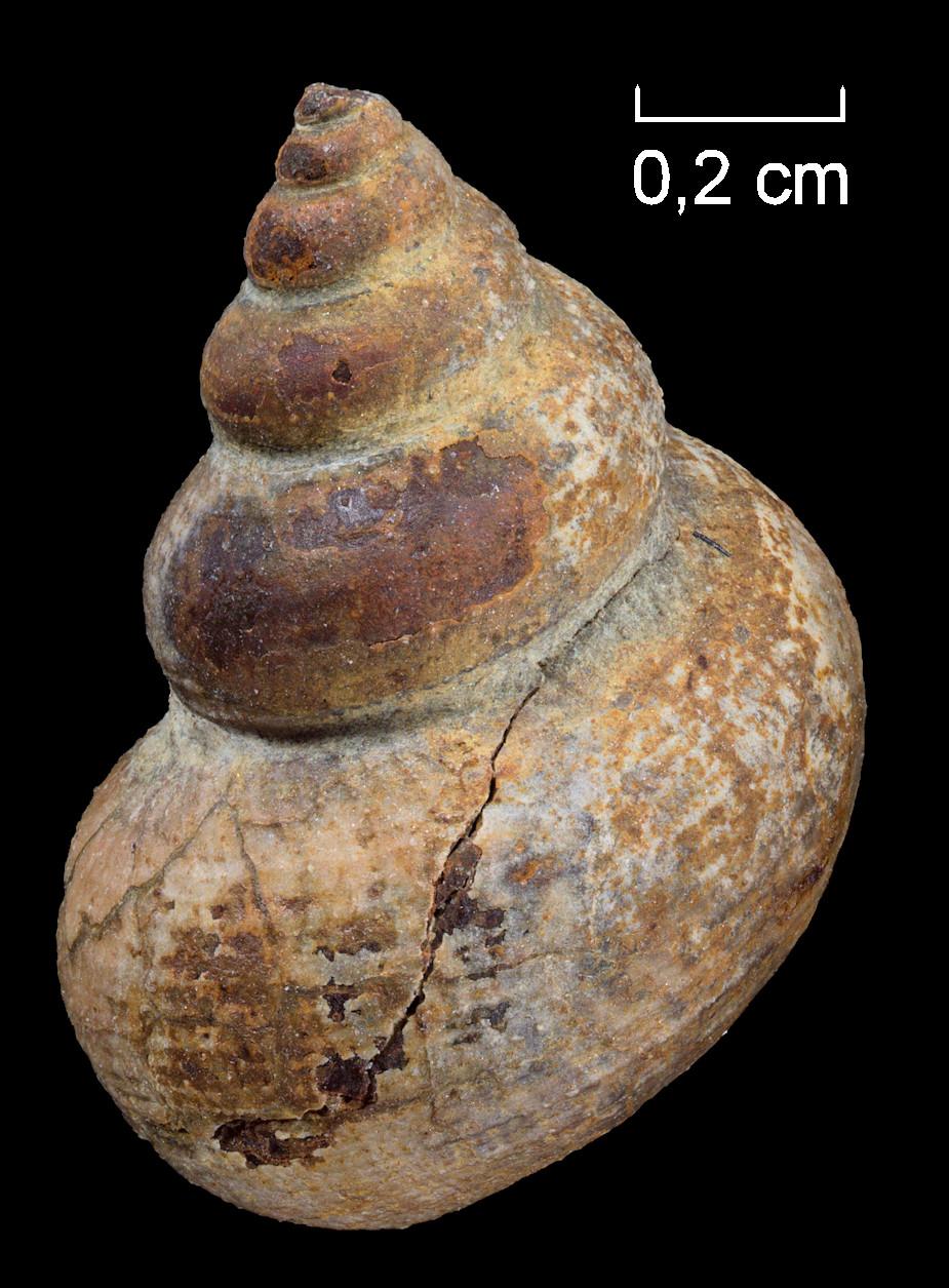 Oolitica cyclostoma (BENZ, 1832)