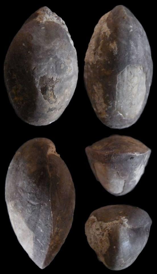 Brachiopode Aulacothyris iberica (DUBAR)