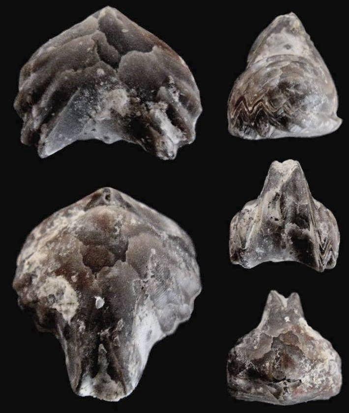 Brachiopode Homoeorhynchia meridionalis (Deslongchamps 1863)