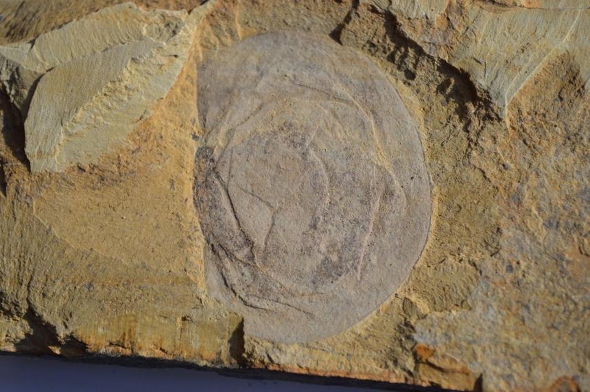 Branchiocaris yunnanensis Hou, 1987
