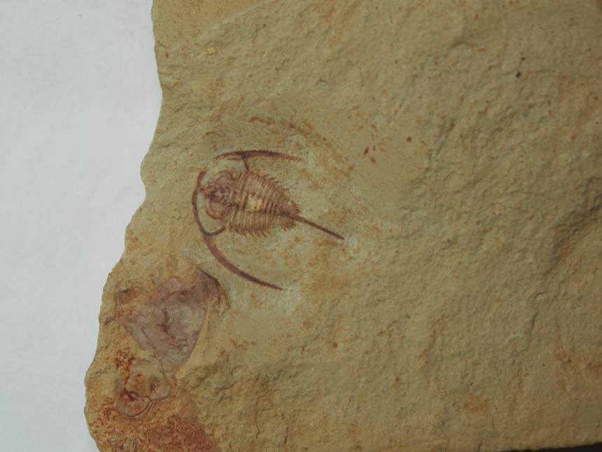 Eoredlichia intermedia (Lu, 1940)
