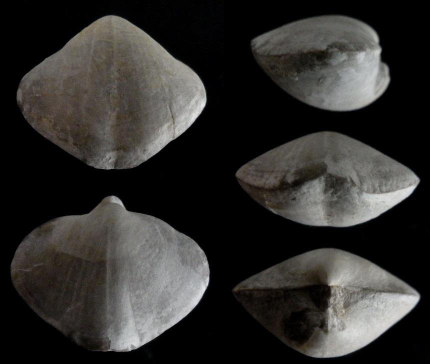 Brachiopode Martinia glabra (SOWERBY, 1820)