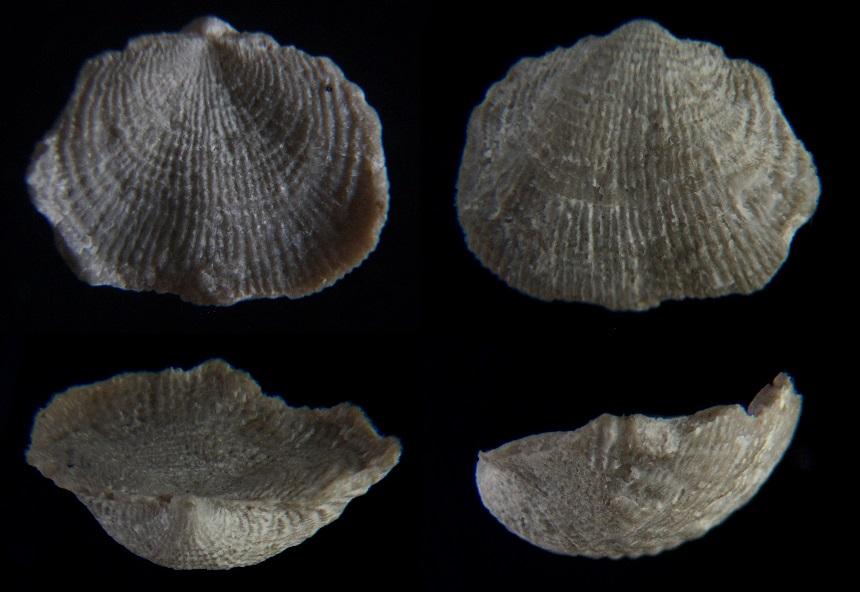 Brachiopode Productus productus (MARTIN, 1809)