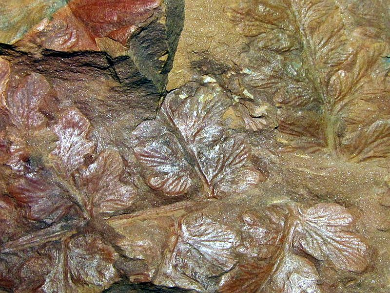 Mariopteris (Fortopteris) latifolia