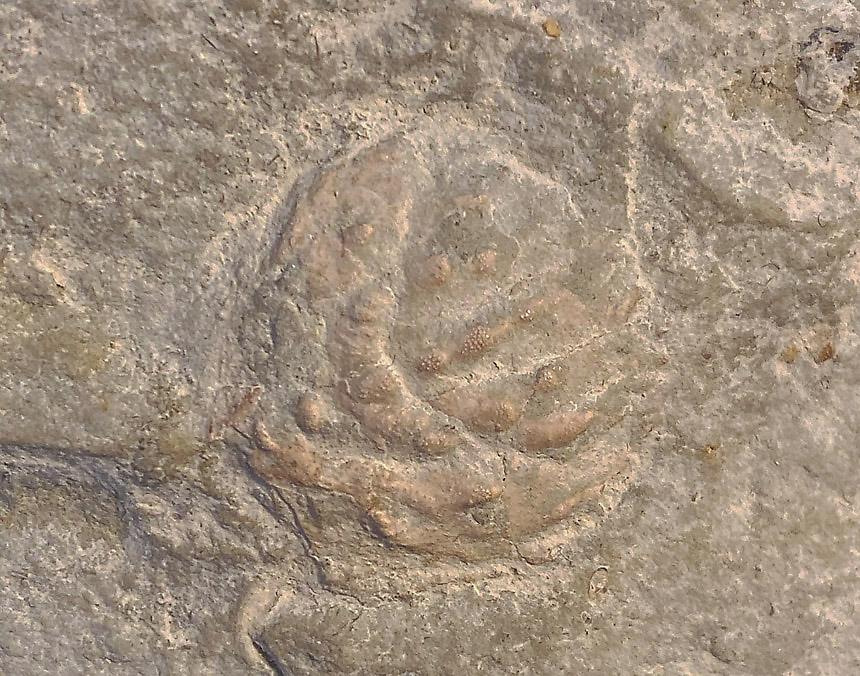 Notopocorystes stokesii