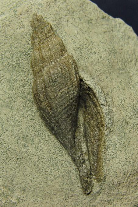Volutolithes subsemiplicata (D'ORBIGNY)