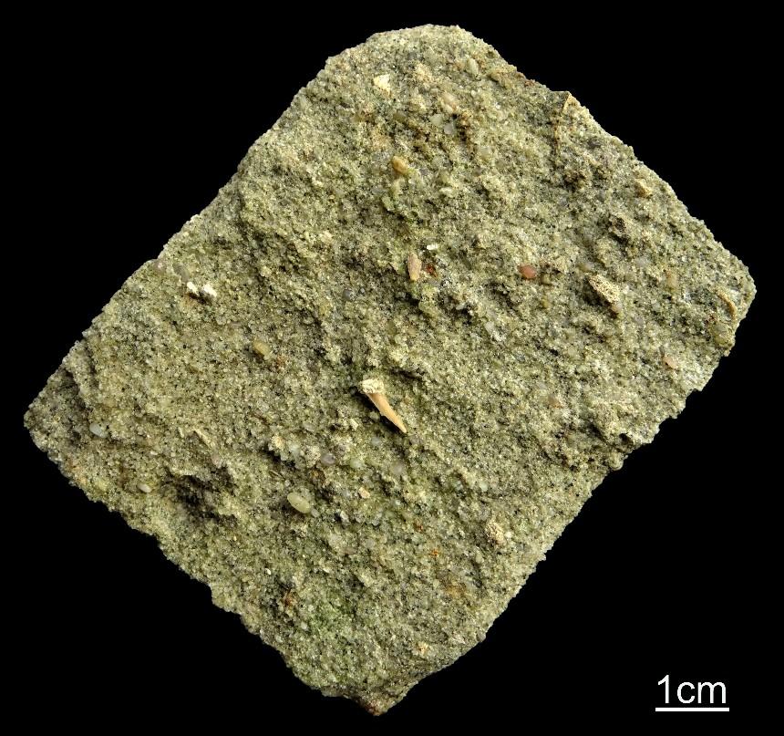 Sandstein aus dem Involutus-Member mit unbestimmten Zähnen