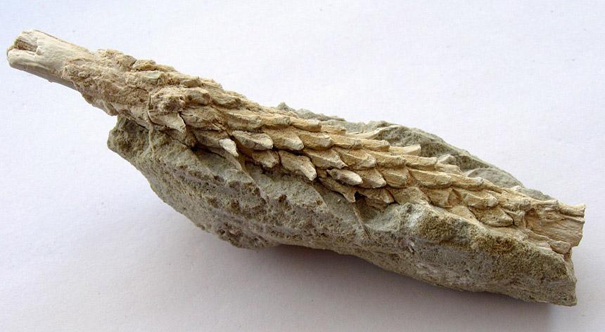 cf. Cunnighamites sp.