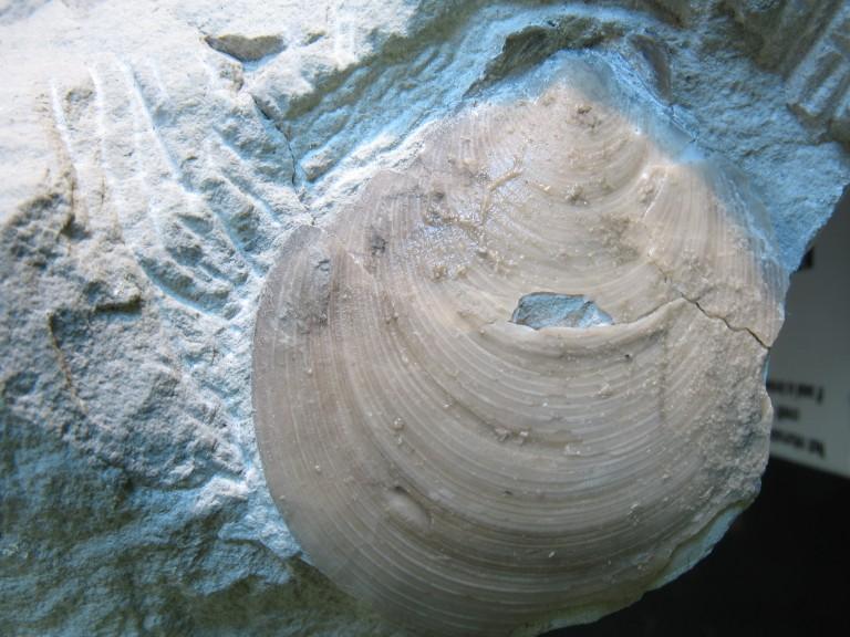 Entolium orbiculare (J. SOWERBY 1817)