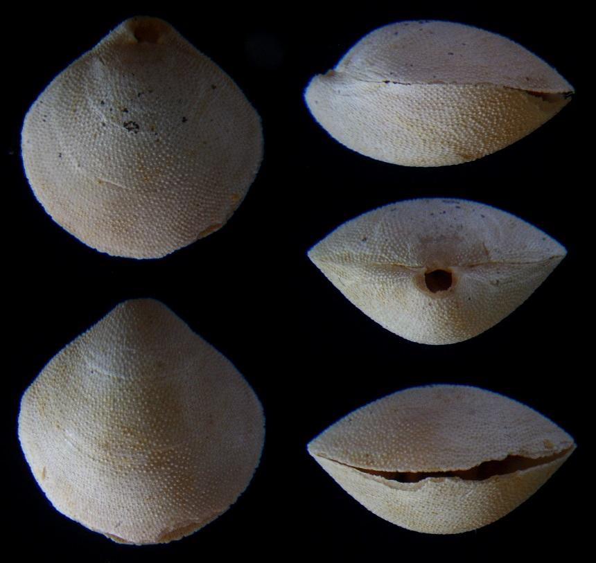 Brachiopode Kingena arenosa (D`ARCHIAC 1846)