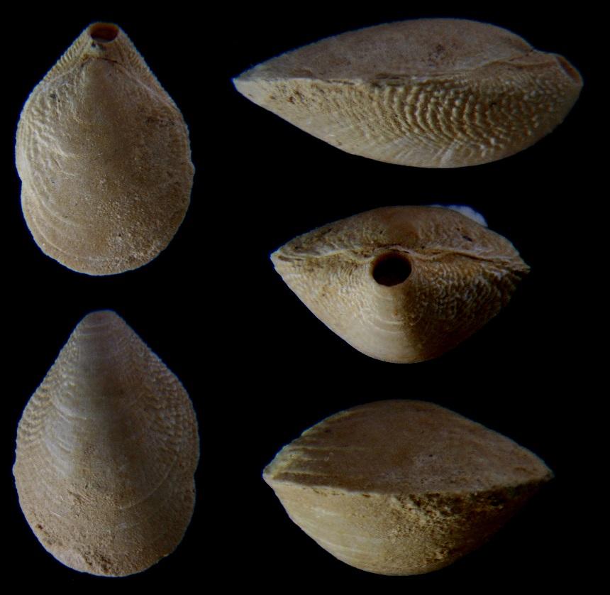 Brachiopode Ovatathyris ovata (SOWERBY 1812)
