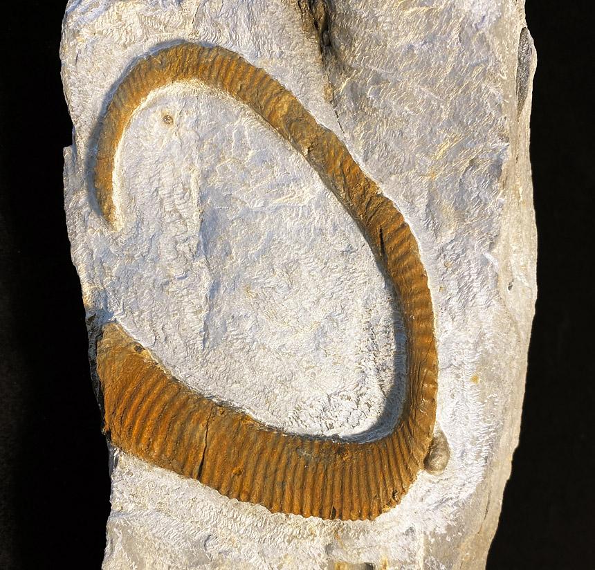 Allocrioceras sp.