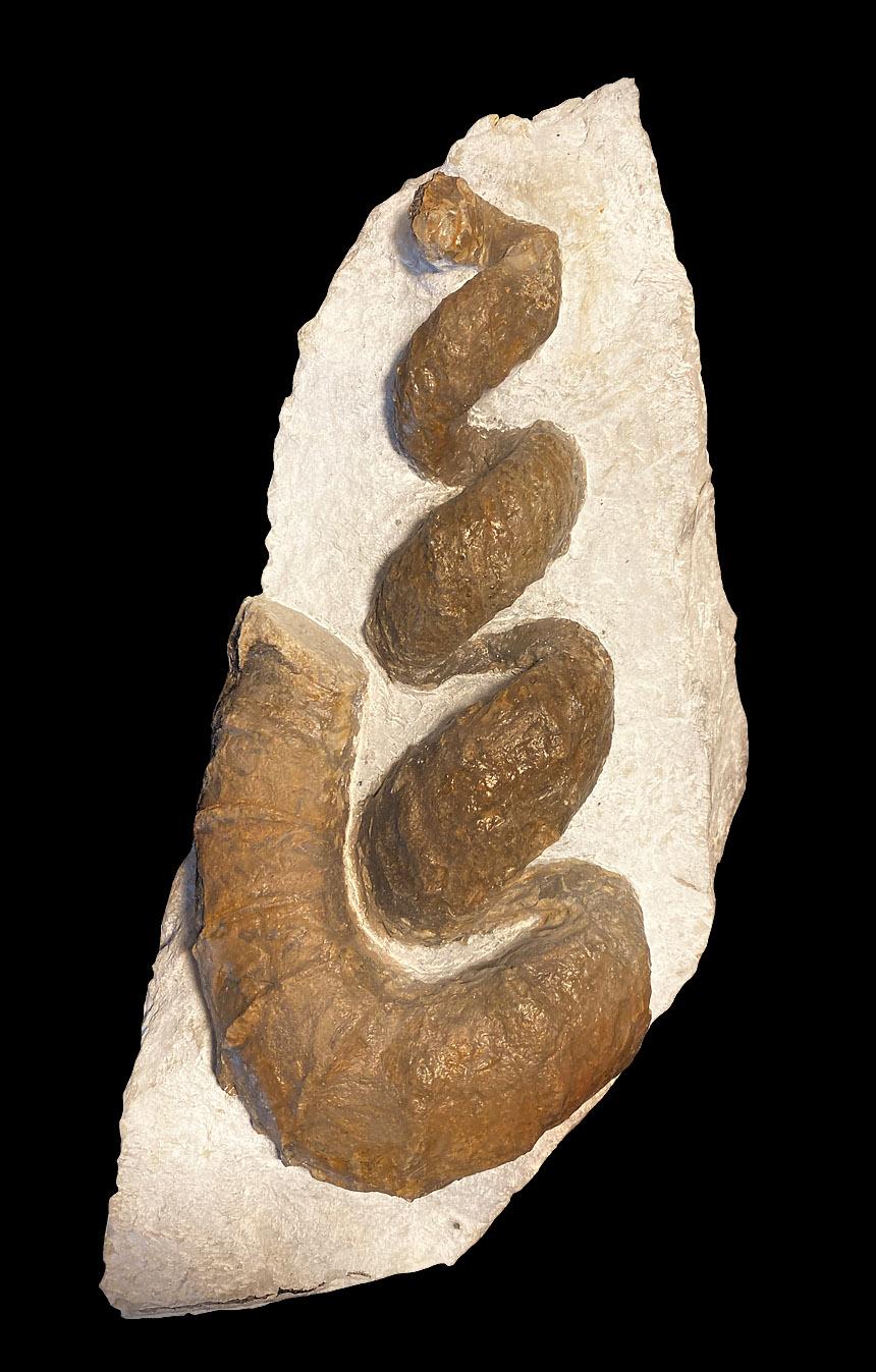 Hyphantoceras reussianum