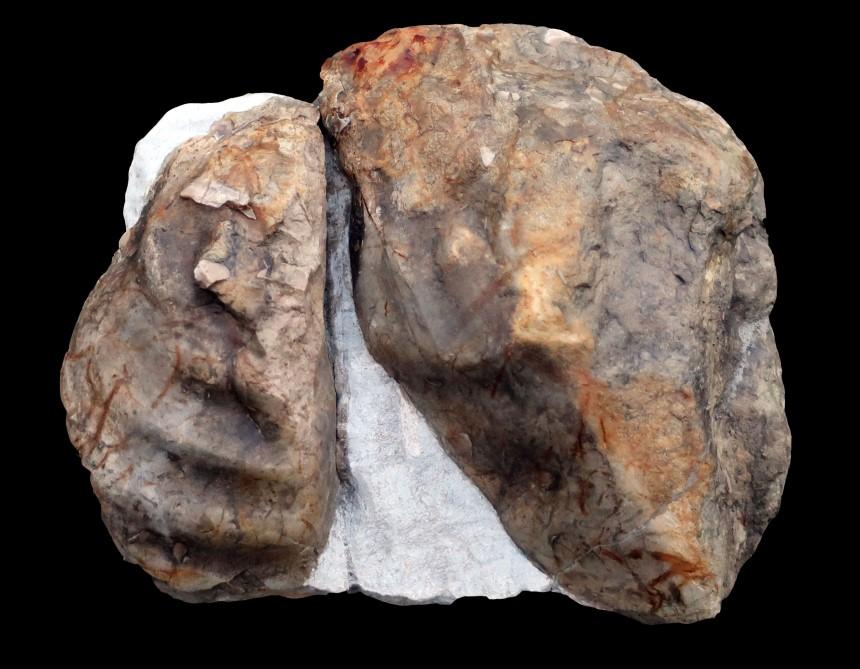 Inoceramus lamarcki