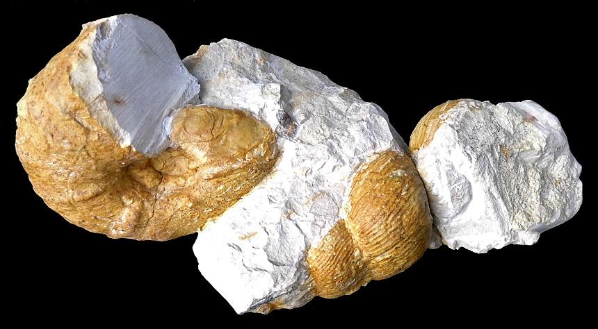 Eubostrychoceras saxonicum und Lewesiceras
