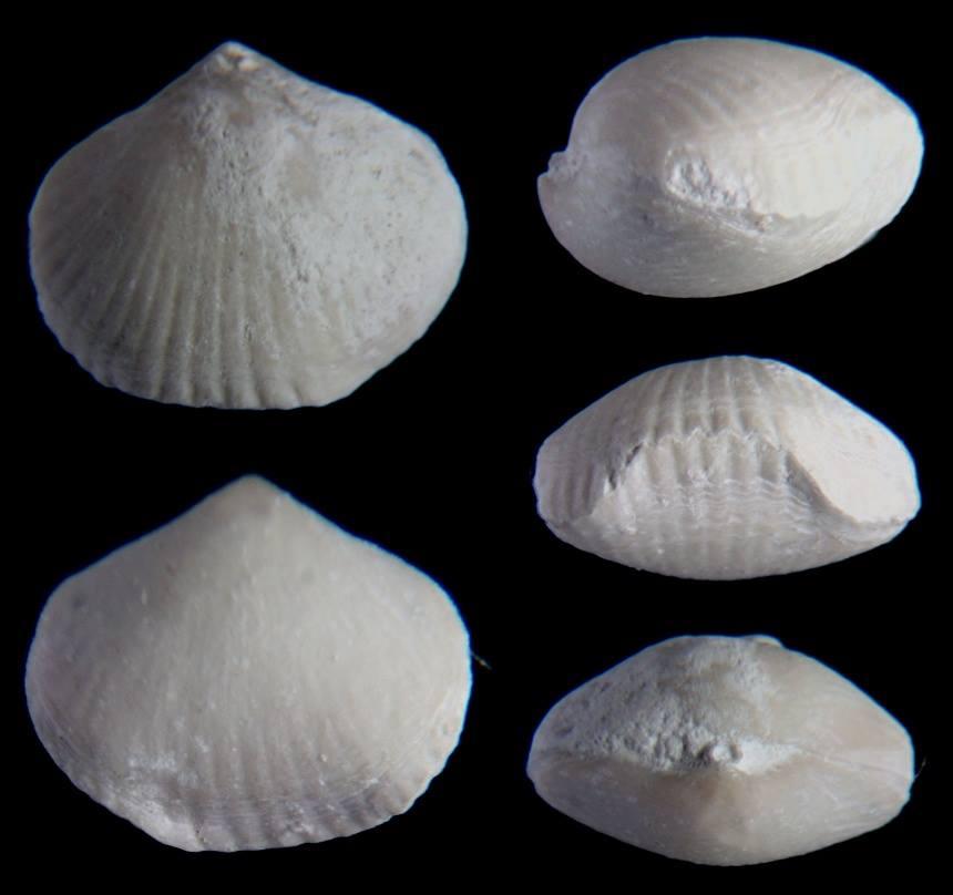 Brachiopode Orbirhynchia cuvieri (D´ORBIGNY 1826)