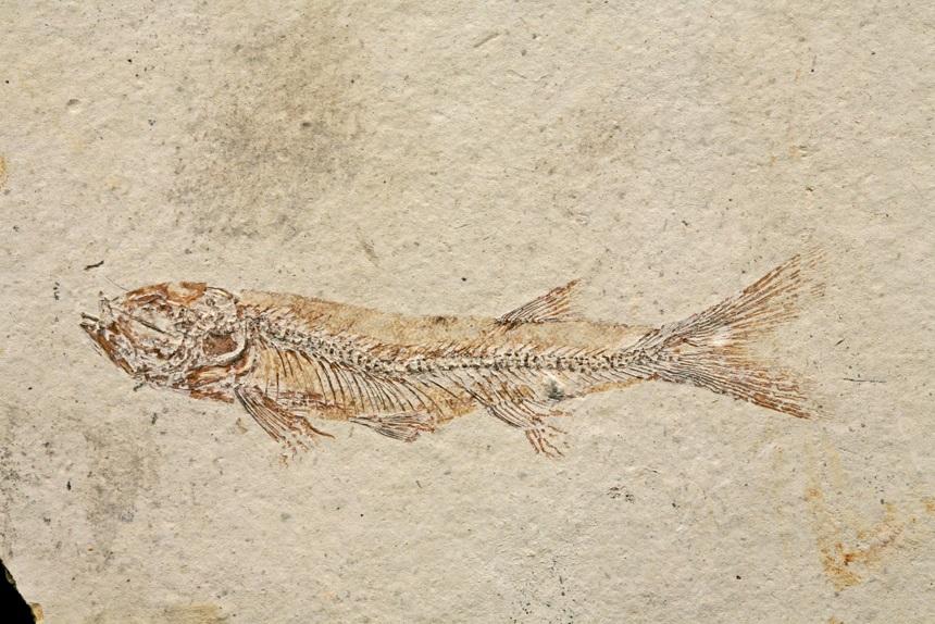Jinanichthys longicephalus Ma & Sun, 1988