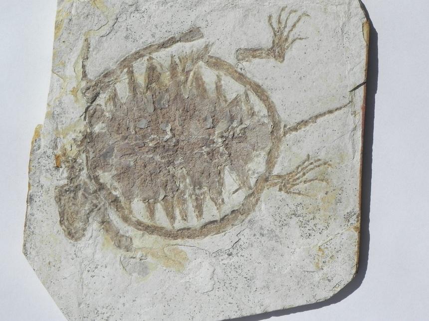 Ordosemys liaoxiensis (Ji, 1995)
