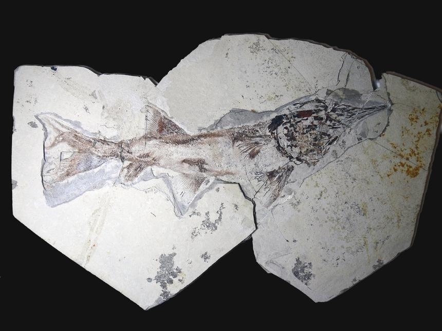 Protopsephurus liui Lu, 1994
