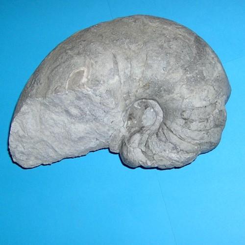 cf.Nautilus