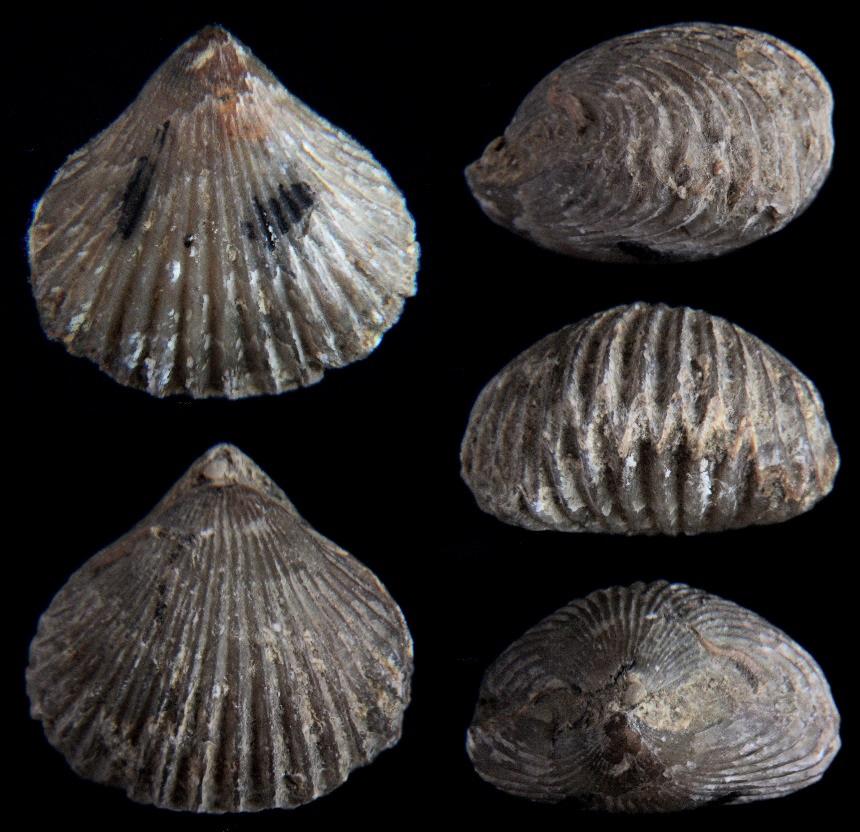Lamellaerhynchia rostriformis (ROEMER, 1836)
