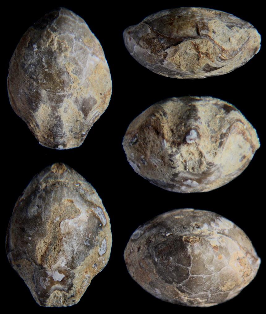 Musculina santacrucis (CATZIGRAS 1948)