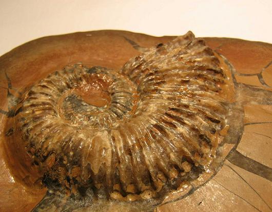 Aegocrioceras sp