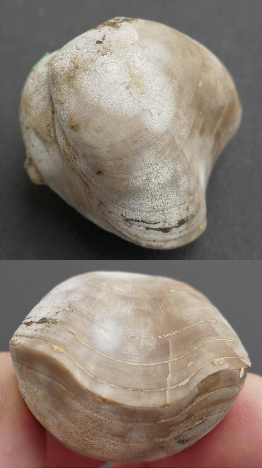 Porambonites sp.