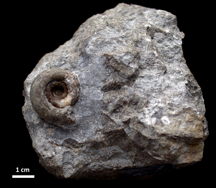 Trocholites sp.