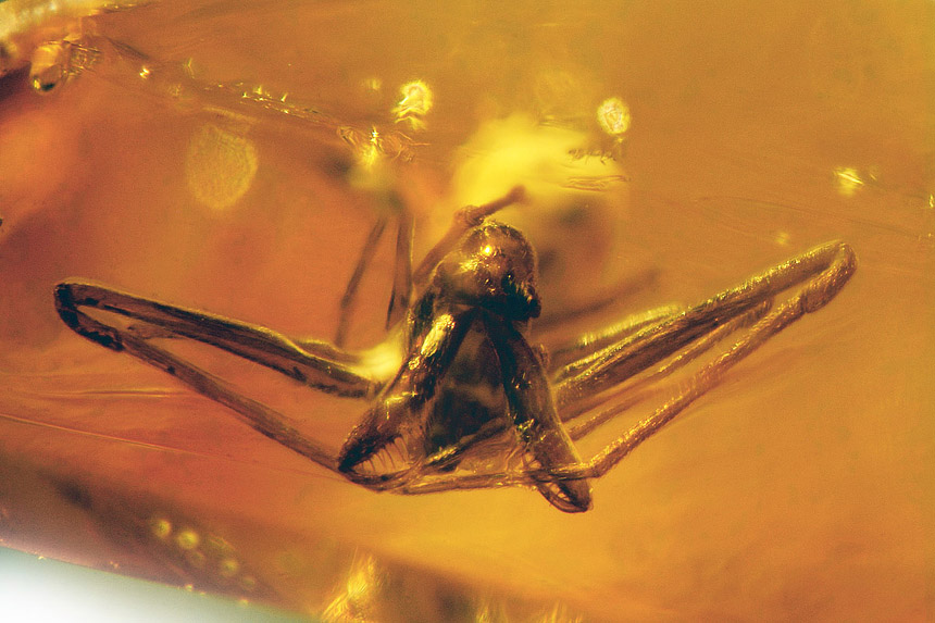 Archaeidae