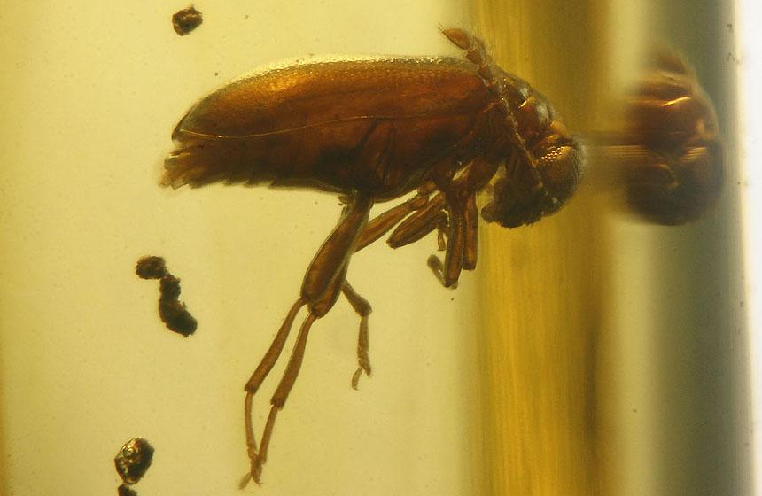 Coleoptera Aderidae