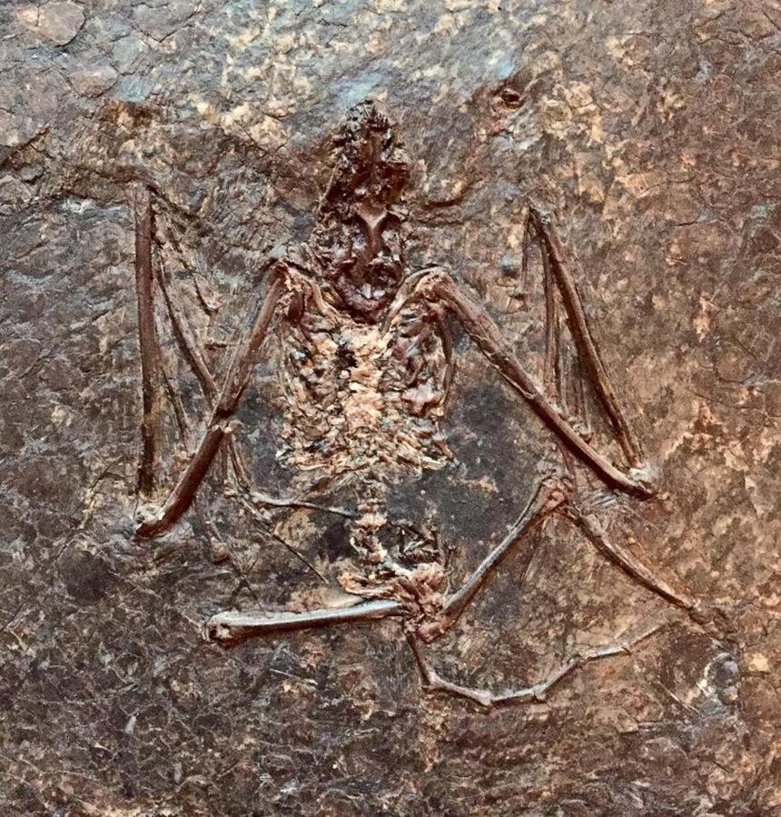 Archaeonycteris trigonodon Revilliod 1917