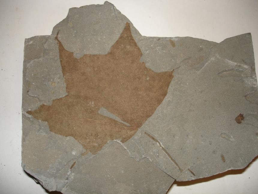 Acer cf. cappadocicum Gleditsch, 1785